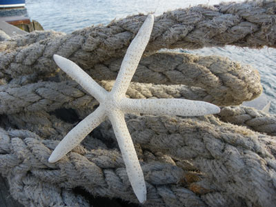 Pointer Starfish